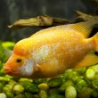Gold fish in an aquarium dolphin cichlid — Stock Photo