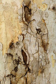 Closeup piece of tree bark Platunus (Sycamore) — Stock Photo