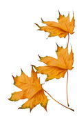 Dried yellow maple leaves isolated on white background — Stock Photo