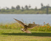 Common kestrel hunting — Stock Photo