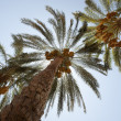 Stock Photo: Date palm trees