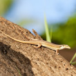 Egyptian lizard on a tree — Stock Photo #7356520