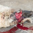 Sheep being traditionally killed for Eid festival — Foto Stock #7626345