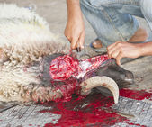 Sheep being traditionally killed for the Eid festival — 图库照片