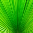Line of Bright Green Palm Leaf — ストック写真
