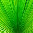 Line of Bright Green Palm Leaf — Stock Photo