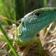 Green lizard in nature — Stock Photo #7631771
