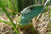 Green lizard in nature — Stock Photo