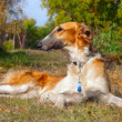 Stock Photo: Russiwolfhound (borzoi) lying in autumn garden. Outdoors.