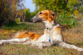 Russian wolfhound (borzoi) lying in autumn garden. Outdoors. — Stock Photo