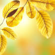 Beautiful golden leaves of walnut tree in warm sunbeam. Autumn p — Stock Photo