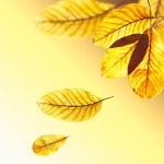 belle foglie dorate dell'albero di noce in un caldo raggio di sole. p autunno — Foto Stock