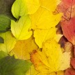 Beautiful fallen leaves lying in tree color line: green, yellow, — Stock Photo