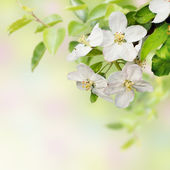 Beautiful spring blossoming apple tree — Stock Photo