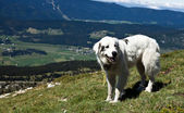 Sheepdog — Foto de Stock