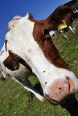 Vacas — Foto Stock