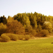 Stock Photo: Pine forests