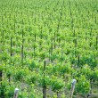Chardonnay grape vines — Stock Photo