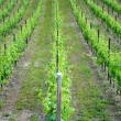 Chardonnay grape vines — Lizenzfreies Foto