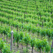 Chardonnay grape vines — Foto de Stock