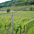 Chardonnay grape vines — Stockfoto