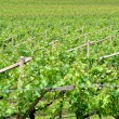 Chardonnay grape vines — Foto Stock
