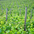 Chardonnay grape vines — 图库照片