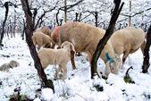 Vineyard snow — Stock Photo