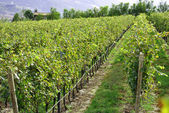 Chardonnay grapes — Stock Photo