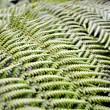 Tree fern - Stock Photo
