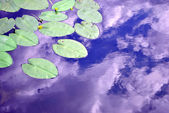 Plant waterlilies — Stock Photo