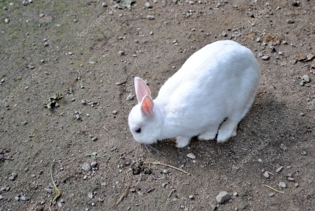 White rabbit on the ground looking for food — Stock Photo #7698241