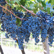 Wine Grapes — Stock Photo #7718031