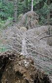 Pine tree fell — Stock Photo