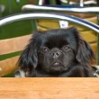 The Tibetan Spaniel. — Stock Photo