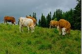 A cows. — Stock Photo
