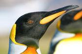 Headshot of king penguin — Stock Photo
