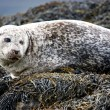 Cute Grey Seal. — Stock Photo #6887707