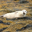 Stock Photo: Grey Seal.