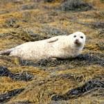 Grey Seal. — Stock Photo