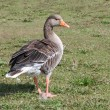 Greylag Goose. — Stock Photo