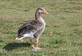 Greylag Goose. — Stock Photo