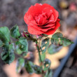 Red rose on blurred background — Stock Photo
