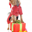 Stock Photo: Christmas yorkie