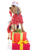 Christmas yorkie — Stock Photo