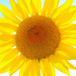 Sunflower — Stock Photo #7724245