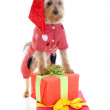 Christmas yorkie — Stock Photo