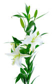 Krásné lilie bílé květy — Stock fotografie