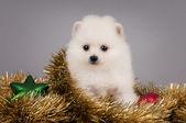 Cute Pomeranian puppy. — Stock Photo