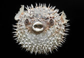 Long-spine porcupinefish - Diodon holocanthus. — Stock Photo